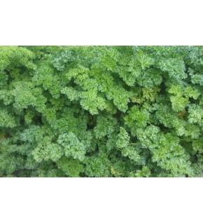 Persil frisé vert foncé