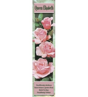 1 Rosier buisson Queen Elisabeth rose