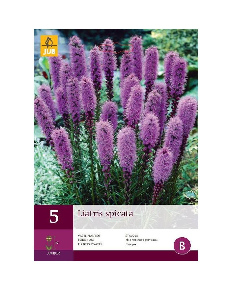 5 Liatris Spicata