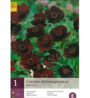 1 Cosmos chocolat (Cosmos atrosanguineus)