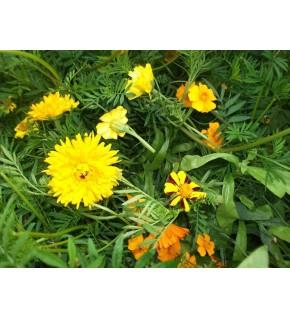 Mélange écologique de graines de fleurs répulsifs Nématodes