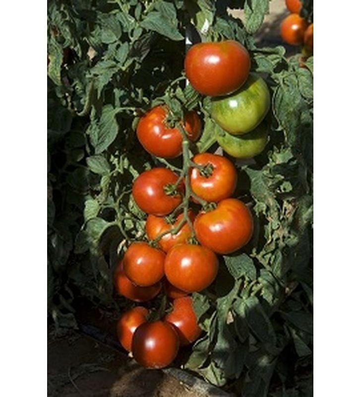 Tomate Pyros
