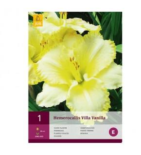 Hemerocallis Villa Vanilla