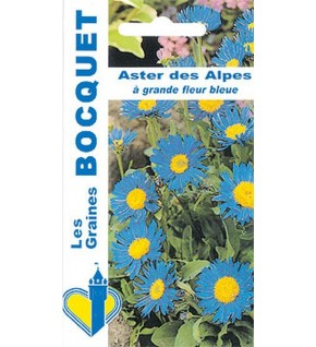 Aster des Alpes grande fleur bleue