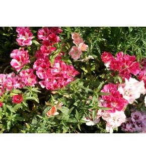 Godétia double à fleur d'azalée varié