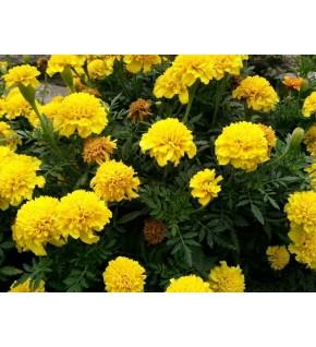 Oeillet d'Inde nain Yellow Pigmy jaune citron