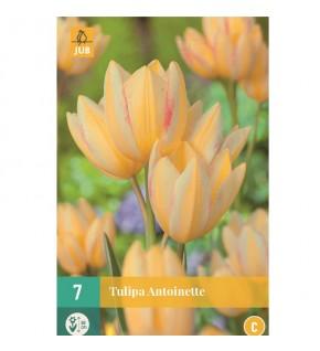Tulipes simples hâtives...