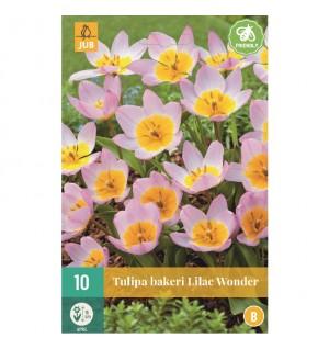 Tulipes Bakeri Lilac Wonder