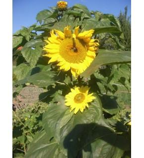 Soleil tournesol géant jaune coeur noir