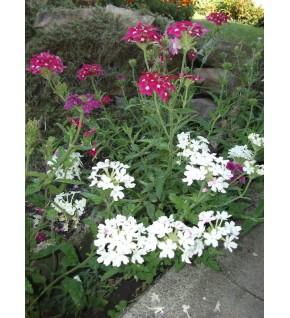 Verveine HYB à grande fleur variée