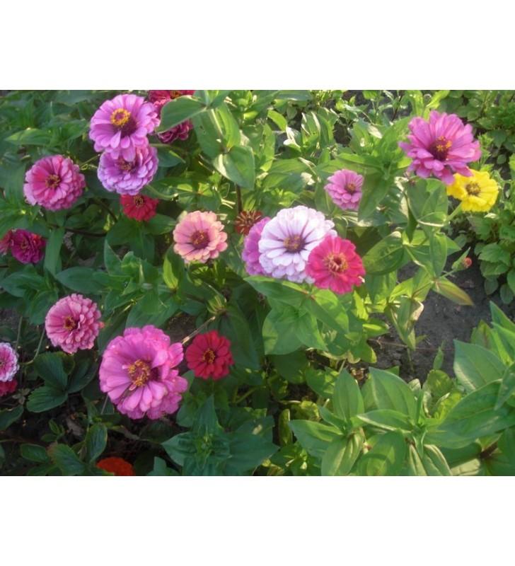 Zinnia à fleur de dahlia varié