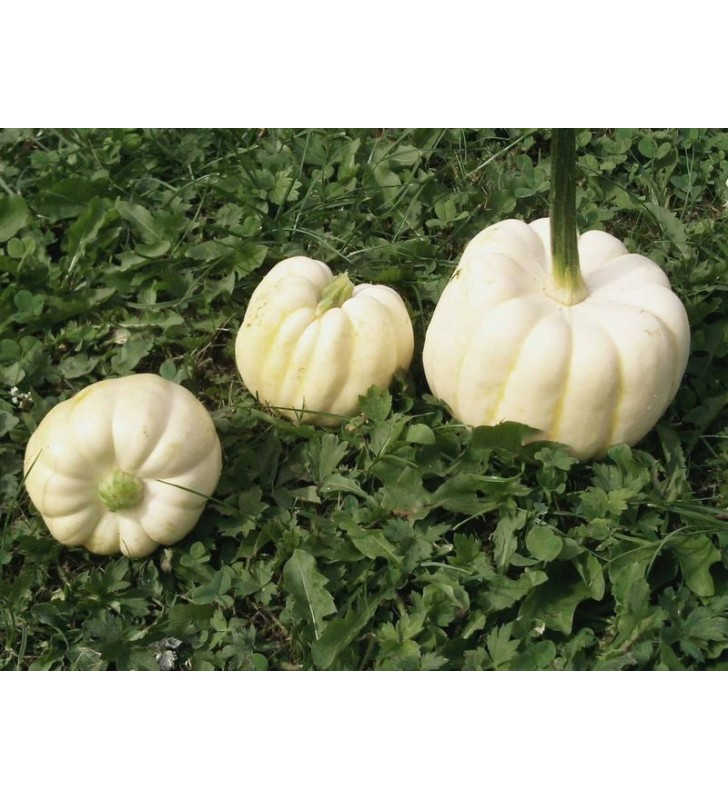 Courge Baby Boo
