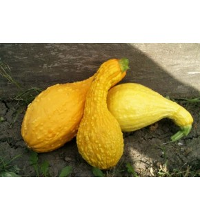 Courge Cou tors