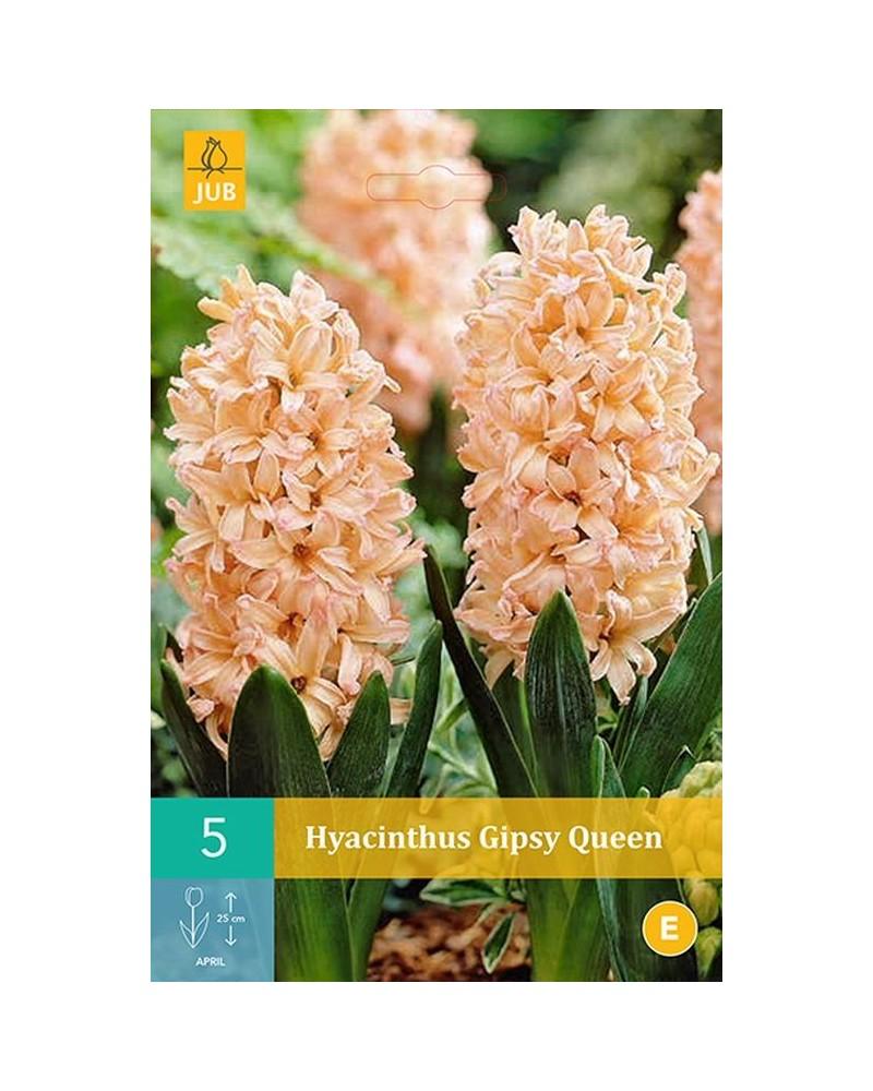 Jacinthes Gipsy Queen Orange Cal 15/16