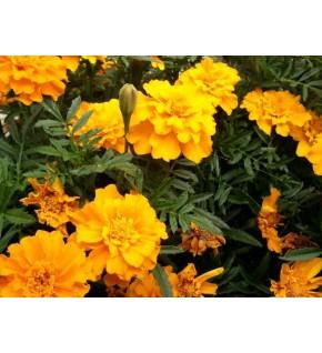 Oeillet d'Inde Tangerine orange