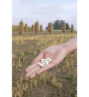 Haricot nain à écosser Flageolet Blanc de Flandres 90g