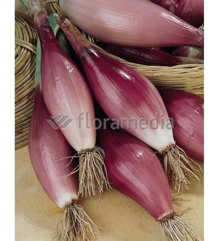 Oignon rouge long doux de Florence