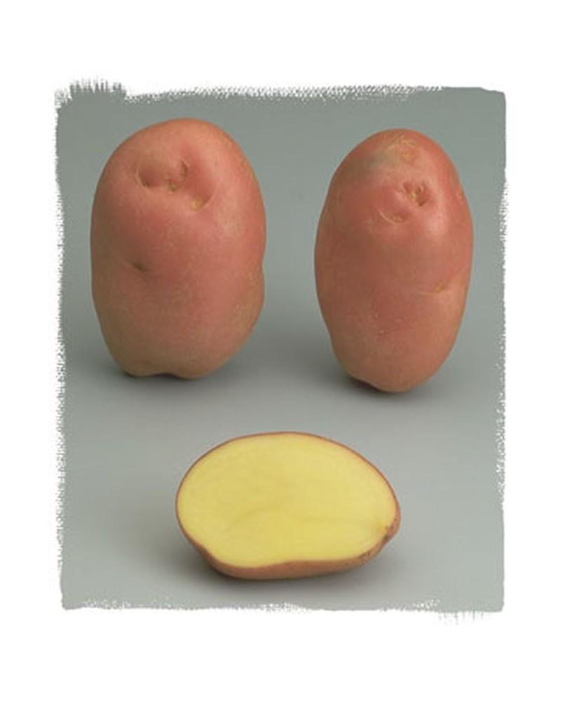 Pomme de terre Désirée à peau rouge