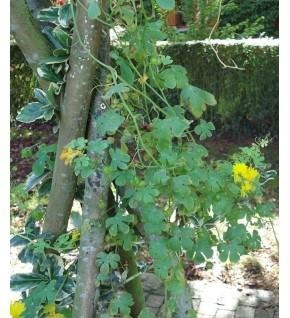 Capucine grimpante jaune des Canaries