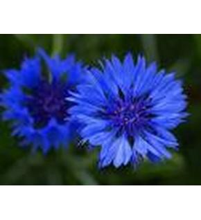 Centaurée barbeau double bleu