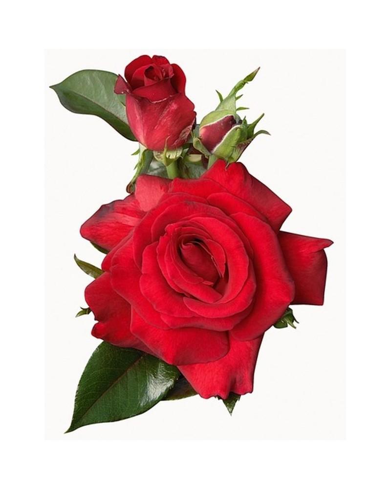 1 Rosier buisson Dame de Coeur rouge