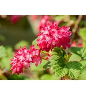 1 Groseiller à fleurs rose rouge