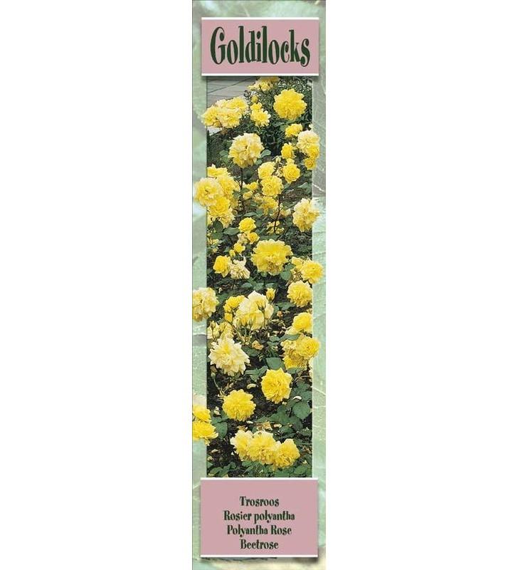 1 Rosier à massifs Goldilocks jaune