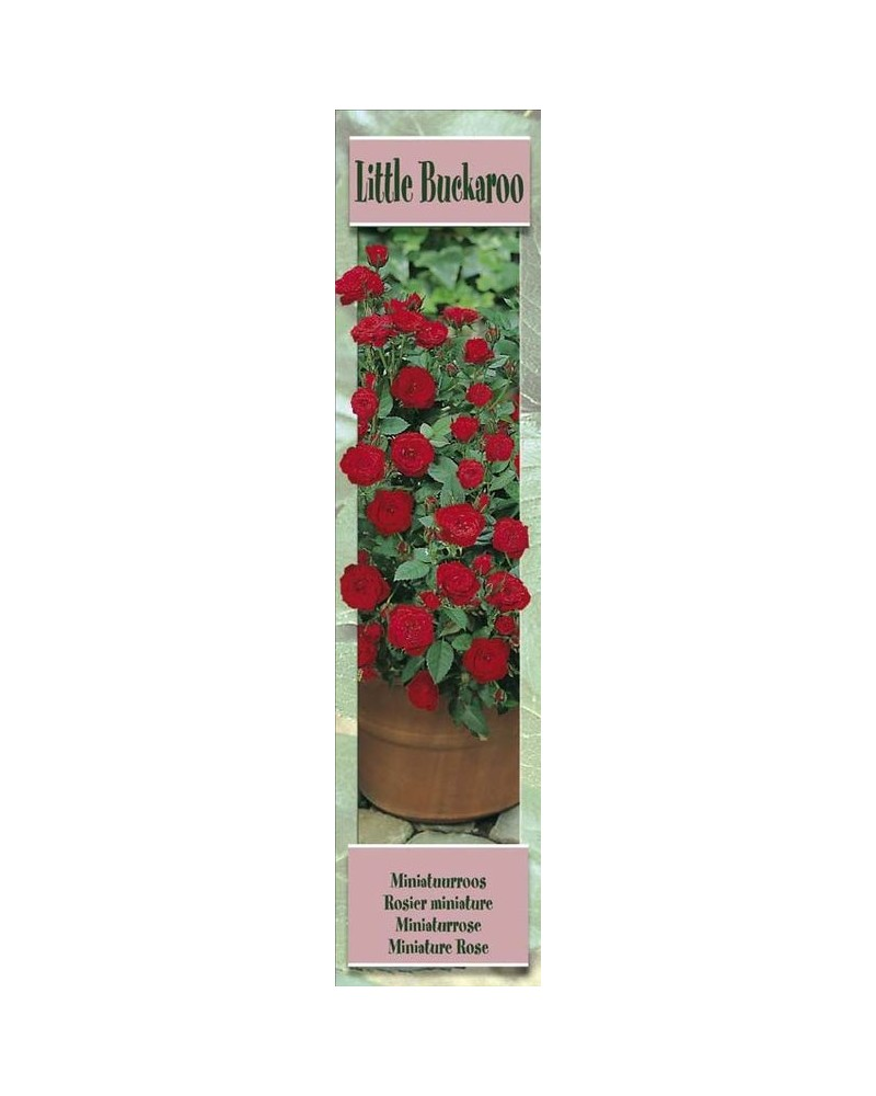 1 Rosier miniature Little Buckaroo rouge