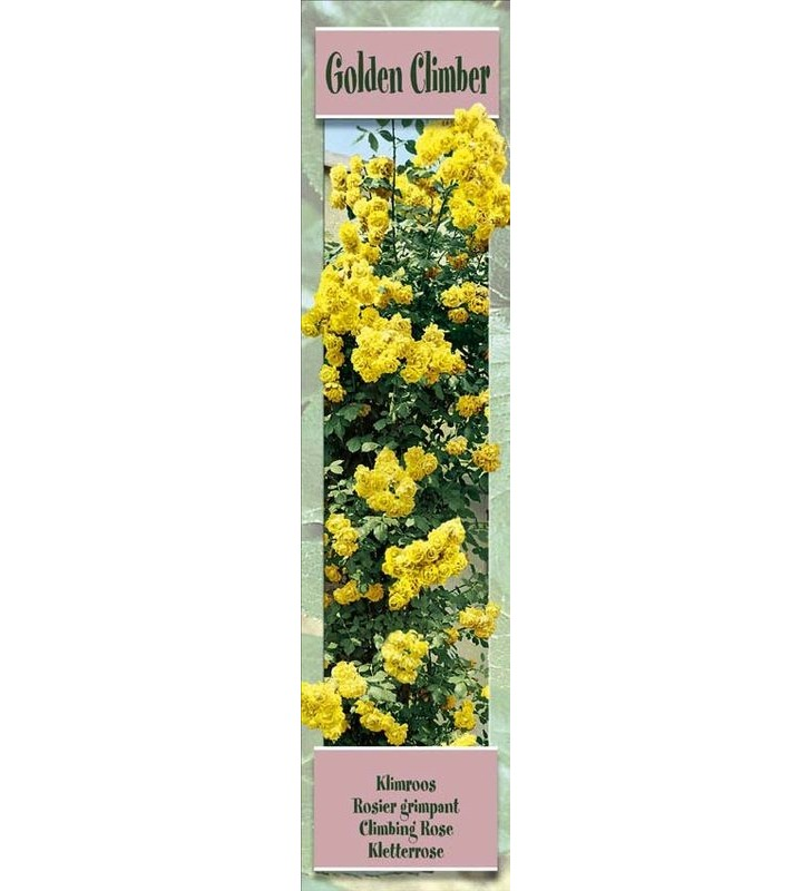 1 Rosier grimpant Golden Climber jaune