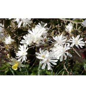 1 Magnolia blanc royal