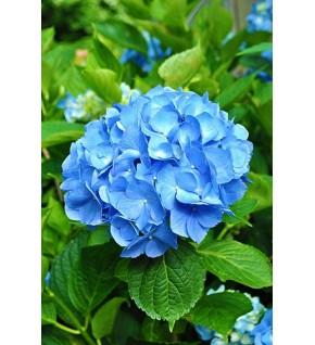 1 Hortensia bleu