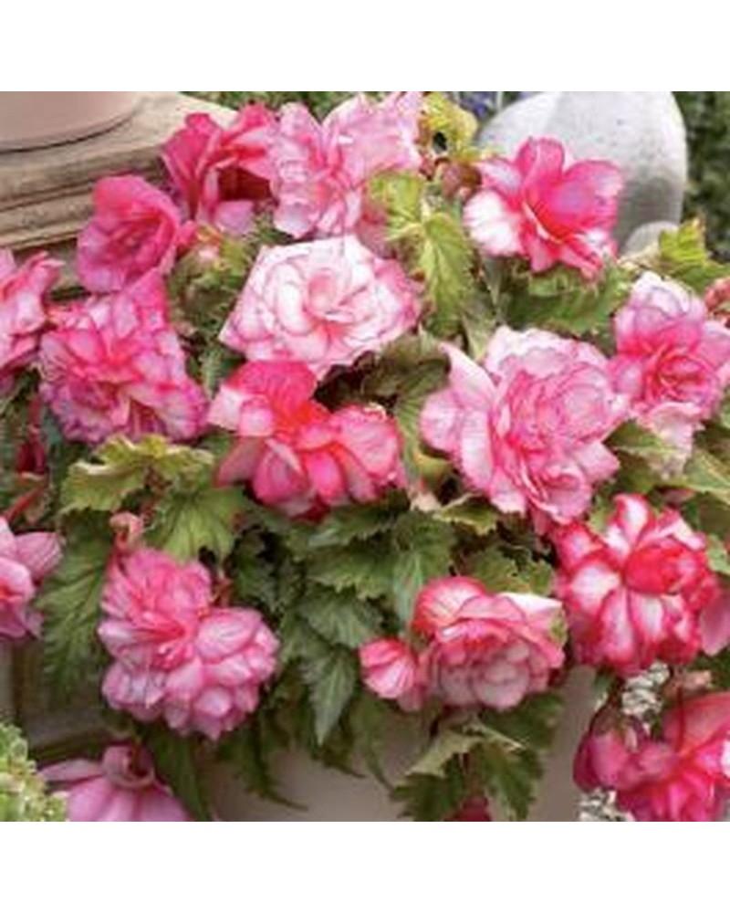 2 Bégonia rose odorant Cal. 5/6cm