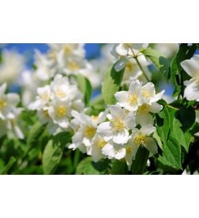 1 Seringat des jardins blanc