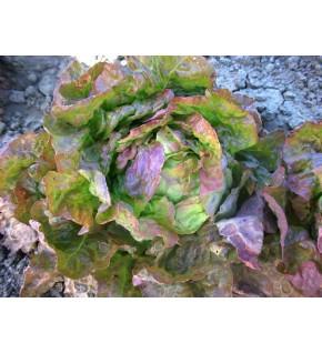 Laitue d'hiver Grand-mère à feuilles rouges