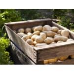 Filets de 25 Plants de Pommes de Terre BIO   Graines Bocquet
