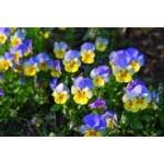 Graines de pensées et violettes à semer | Graines Bocquet