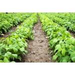 Graines de haricots nains à semer | Graines Bocquet