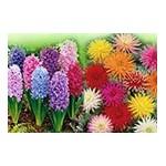 Bulbes à fleurs à planter : Bégonias, Dahlias | Graines Bocquet