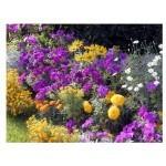 Fleurs pour massifs - Graines à semer au jardin   Les Graines Bocquet