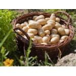 Filets de Plants de Pommes de Terre Très Hâtives | Graines Bocquet